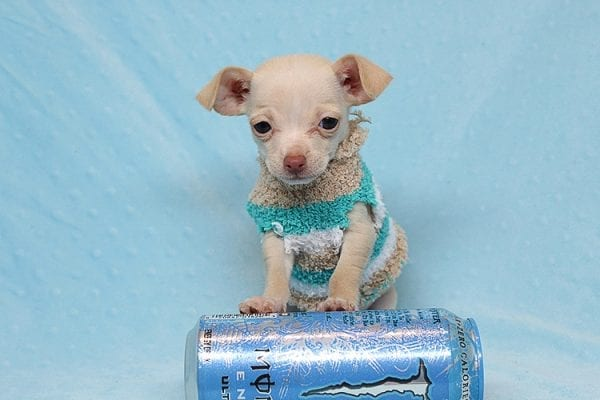 Gromit - Tiny Teacup Chihuahua Found his New Loving Home with Ricardo from Pocoima CA 91331-0