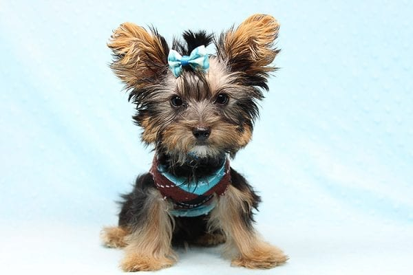 Louis Vitton - Tiny Teacup Yorkie Puppy In Los Angeles-25680