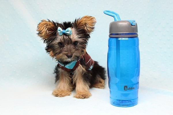 Louis Vitton - Tiny Teacup Yorkie Puppy In Los Angeles-25683