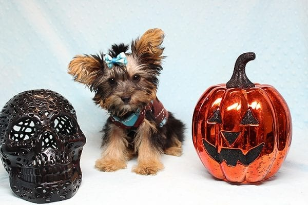 Louis Vitton - Tiny Teacup Yorkie Puppy In Los Angeles-25684