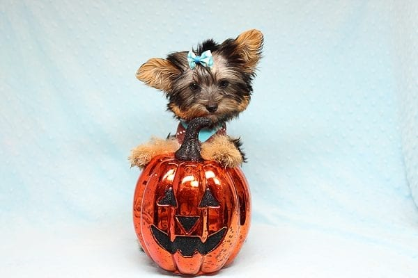 Louis Vitton - Tiny Teacup Yorkie Puppy In Los Angeles-0