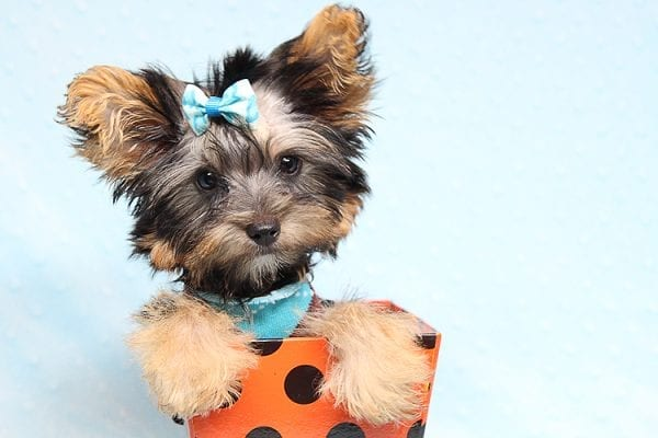 Louis Vitton - Tiny Teacup Yorkie Puppy In Los Angeles-25686