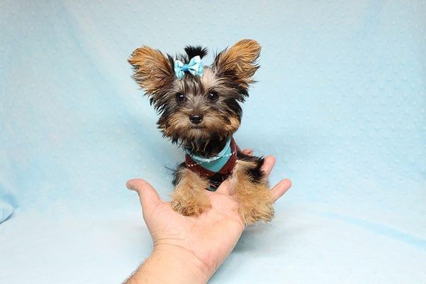 Louis Vitton - Tiny Teacup Yorkie Puppy In Los Angeles-25679