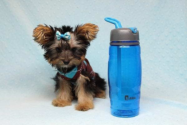 Louis Vitton - Tiny Teacup Yorkie Puppy In Los Angeles-25682
