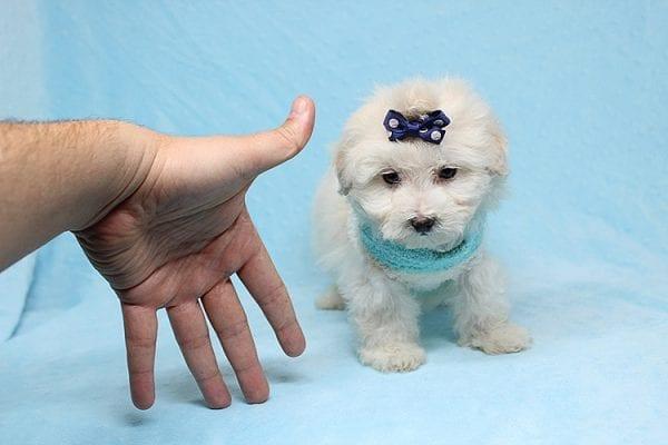 Maximus - Tiny Teacup Maltipoo Puppy in Los Angeles California-26301