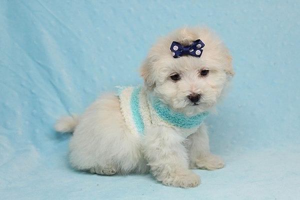Maximus - Tiny Teacup Maltipoo Puppy in Los Angeles California-26305