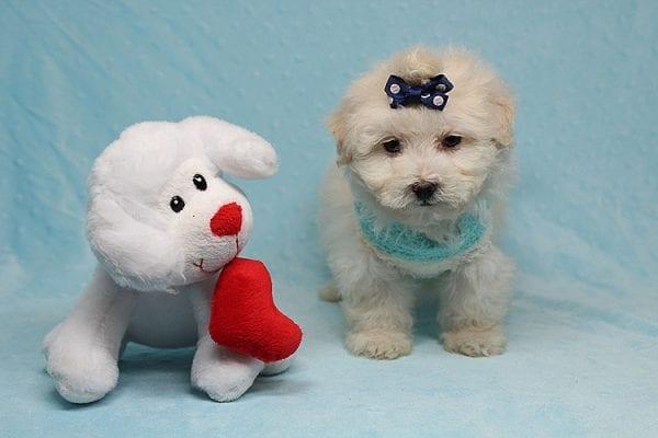 Maximus - Tiny Teacup Maltipoo Puppy in Los Angeles California-26307
