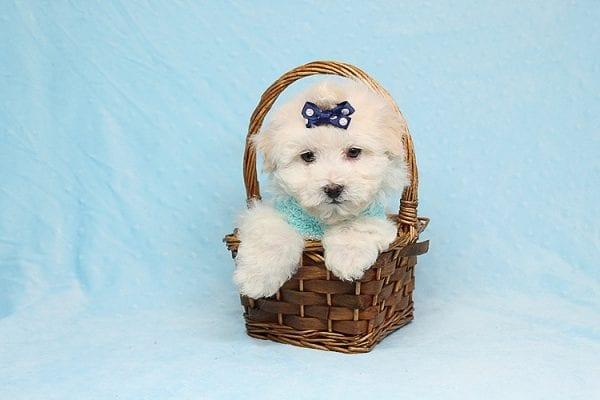 Maximus - Tiny Teacup Maltipoo Puppy in Los Angeles California-26306