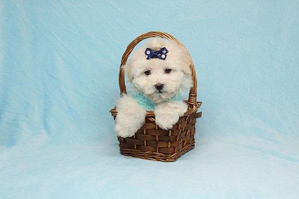 Maximus - Tiny Teacup Maltipoo Puppy in Los Angeles California-26309
