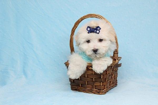 Maximus - Tiny Teacup Maltipoo Puppy in Los Angeles California-26308