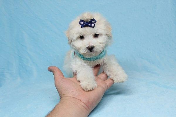 Maximus - Tiny Teacup Maltipoo Puppy in Los Angeles California-26300