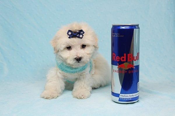 Maximus - Tiny Teacup Maltipoo Puppy in Los Angeles California-26303