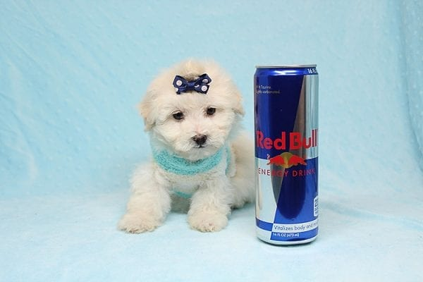 Maximus - Tiny Teacup Maltipoo Puppy in Los Angeles California-0