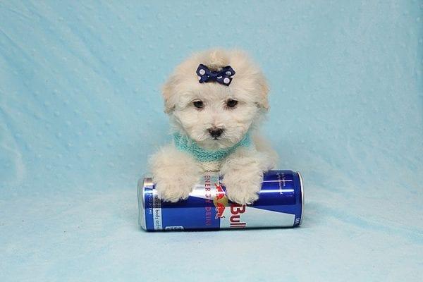 Maximus - Tiny Teacup Maltipoo Puppy in Los Angeles California-26304