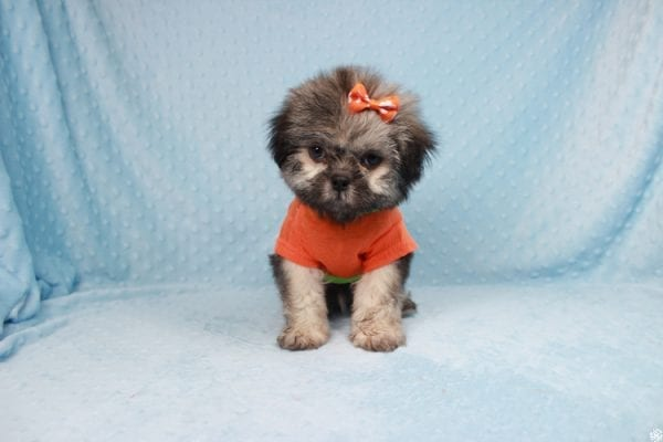 Nightshade - Toy Shih-Tzu Puppy has found a good loving home with Candyce from Henderson, NV 89074-25655