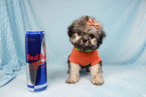 Nightshade - Toy Shih-Tzu Puppy has found a good loving home with Candyce from Henderson, NV 89074-25657