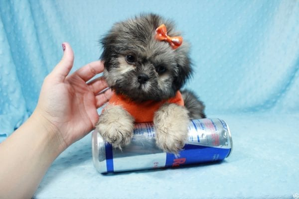 Nightshade - Toy Shih-Tzu Puppy has found a good loving home with Candyce from Henderson, NV 89074-25656