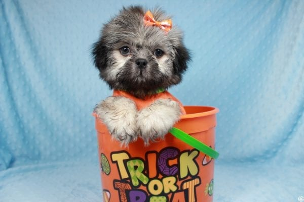 Nightshade - Toy Shih-Tzu Puppy has found a good loving home with Candyce from Henderson, NV 89074-25659