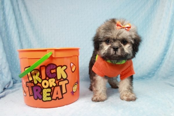 Nightshade - Toy Shih-Tzu Puppy has found a good loving home with Candyce from Henderson, NV 89074-25660