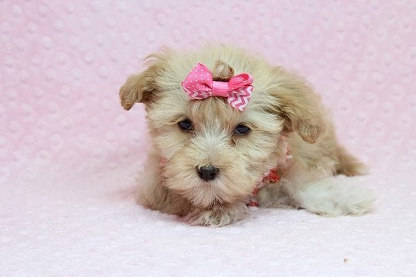 Obsession - Teacup Maltipoo Puppy Found Her New Loving Home with Saswati from Pacific Palisades CA 90272-26310