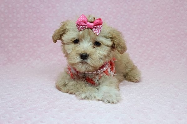 Obsession - Teacup Maltipoo Puppy Found Her New Loving Home with Saswati from Pacific Palisades CA 90272-26319