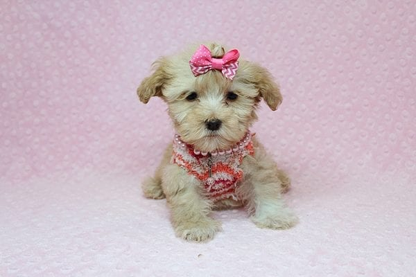 Obsession - Teacup Maltipoo Puppy Found Her New Loving Home with Saswati from Pacific Palisades CA 90272-26320