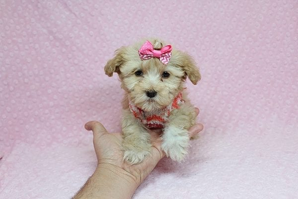 Obsession - Teacup Maltipoo Puppy Found Her New Loving Home with Saswati from Pacific Palisades CA 90272-26314