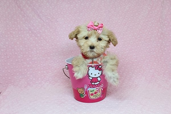 Obsession - Teacup Maltipoo Puppy Found Her New Loving Home with Saswati from Pacific Palisades CA 90272-26312