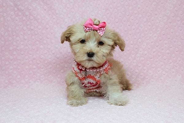 Obsession - Teacup Maltipoo Puppy Found Her New Loving Home with Saswati from Pacific Palisades CA 90272-26317
