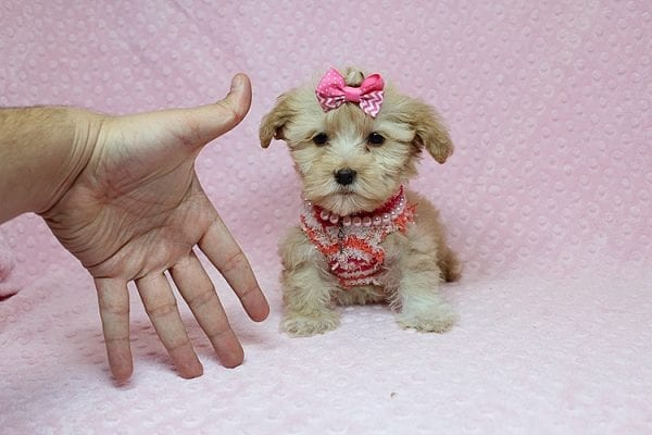 Obsession - Teacup Maltipoo Puppy Found Her New Loving Home with Saswati from Pacific Palisades CA 90272-0