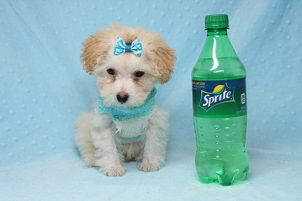 Orange Sherbert - Teacup Maltipoo Puppy Found His New Loving Home with Farhad Family from Los Angeles CA 90049-25575