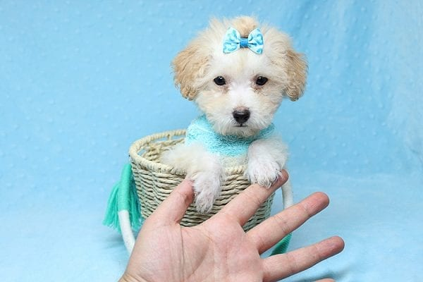 Orange Sherbert - Teacup Maltipoo Puppy Found His New Loving Home with Farhad Family from Los Angeles CA 90049-25573