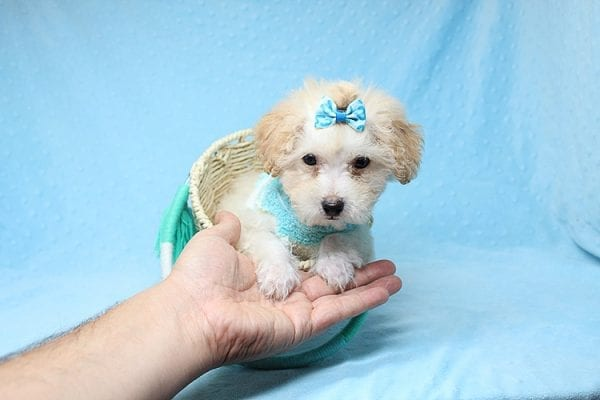 Orange Sherbert - Teacup Maltipoo Puppy Found His New Loving Home with Farhad Family from Los Angeles CA 90049-25574