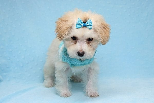 Orange Sherbert - Teacup Maltipoo Puppy Found His New Loving Home with Farhad Family from Los Angeles CA 90049-25570