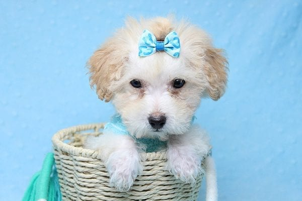 Orange Sherbert - Teacup Maltipoo Puppy Found His New Loving Home with Farhad Family from Los Angeles CA 90049-25576