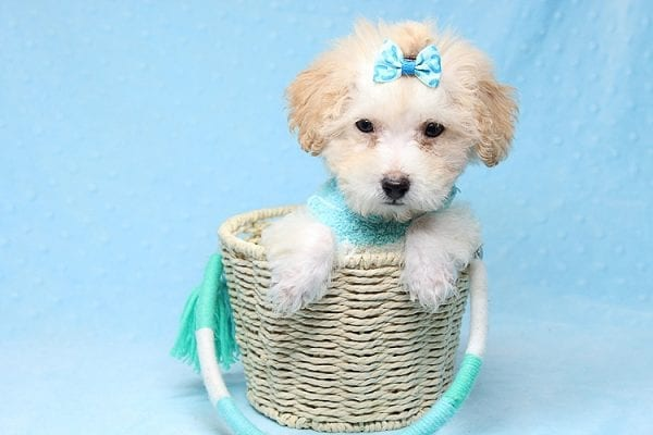 Orange Sherbert - Teacup Maltipoo Puppy Found His New Loving Home with Farhad Family from Los Angeles CA 90049-0