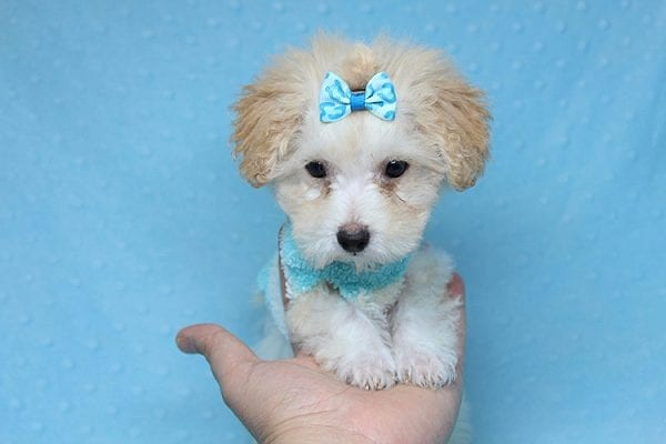 Orange Sherbert - Teacup Maltipoo Puppy Found His New Loving Home with Farhad Family from Los Angeles CA 90049-25572