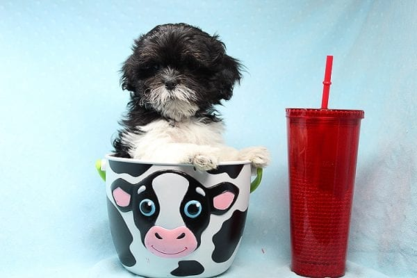 Teacup & Toy Puppies by breeders in 93065 Simi Valley CA-0