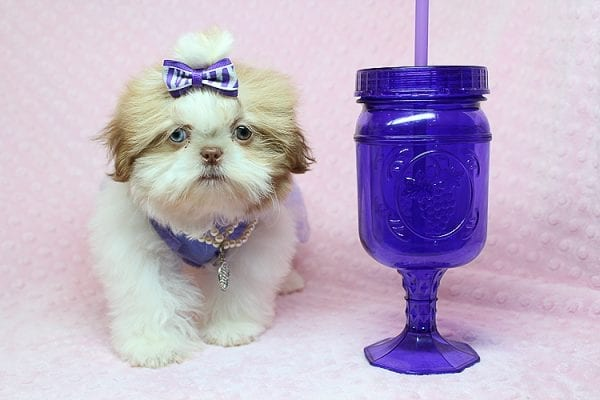 Paris - Teacup Shih Tzu puppy has found a good loving home with Pam from Las Vegas, NV 89139.-0