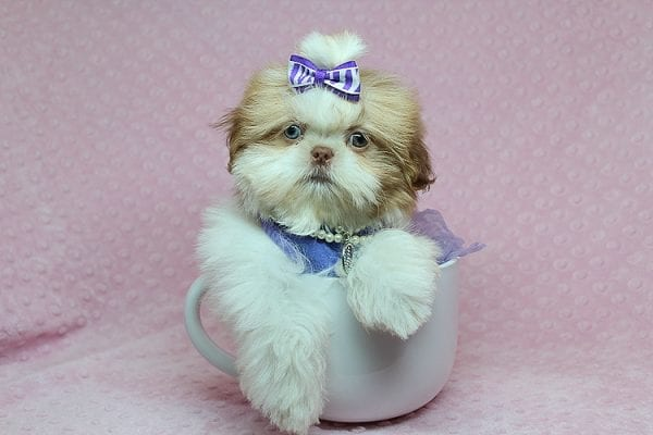 Paris - Teacup Shih Tzu puppy has found a good loving home with Pam from Las Vegas, NV 89139.-25459