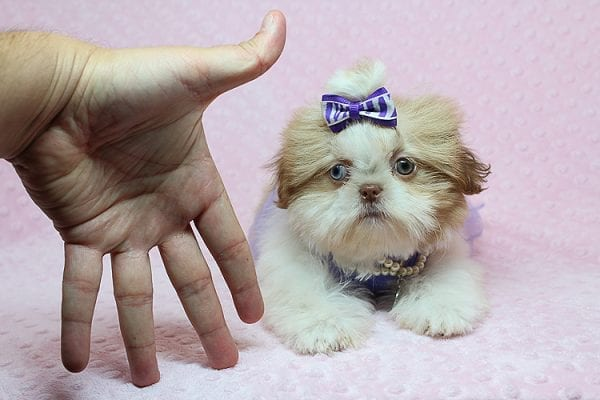 Paris - Teacup Shih Tzu puppy has found a good loving home with Pam from Las Vegas, NV 89139.-25455