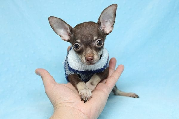 Pluto - Micro Teacup Chihuahua Puppy Found His New Loving Home with Melisa From Westlake CA 913611-25585
