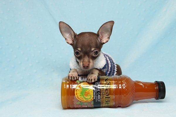 Pluto - Micro Teacup Chihuahua Puppy Found His New Loving Home with Melisa From Westlake CA 913611-25589
