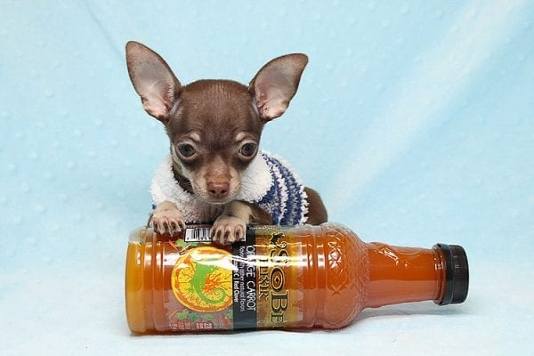 Pluto - Micro Teacup Chihuahua Puppy Found His New Loving Home with Melisa From Westlake CA 913611-25593