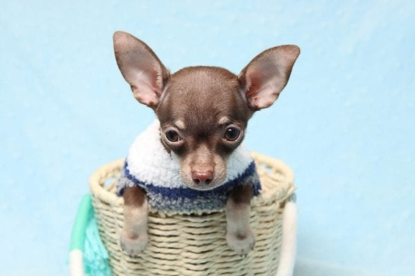 Pluto - Micro Teacup Chihuahua Puppy Found His New Loving Home with Melisa From Westlake CA 913611-25591