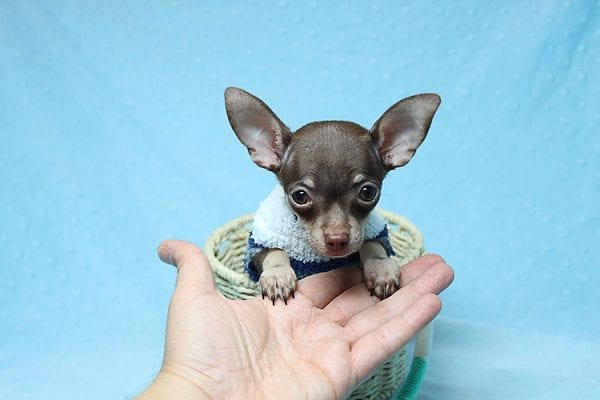 Pluto - Micro Teacup Chihuahua Puppy Found His New Loving Home with Melisa From Westlake CA 913611-25592