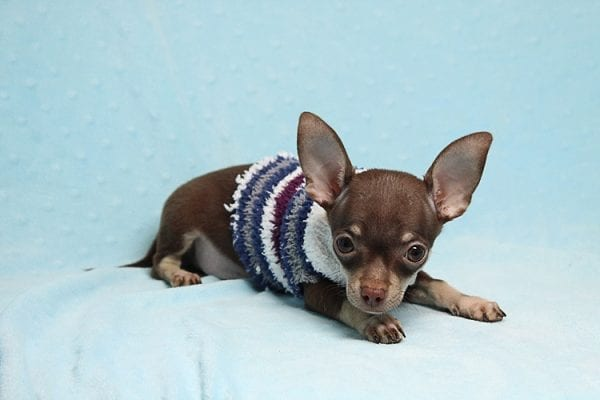 Pluto - Micro Teacup Chihuahua Puppy Found His New Loving Home with Melisa From Westlake CA 913611-25586