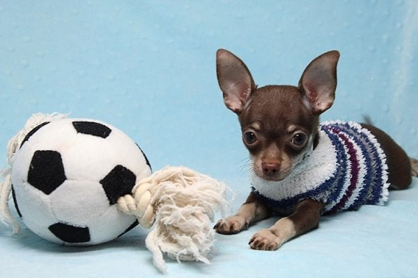Pluto - Micro Teacup Chihuahua Puppy Found His New Loving Home with Melisa From Westlake CA 913611-0