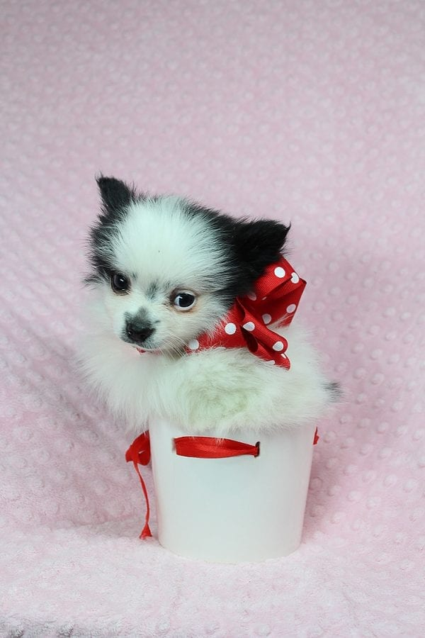 Princess Jasmine - Teacup pomeranian Puppy has found a good loving home with Donna from Las Vegas, NV 89109. -25499