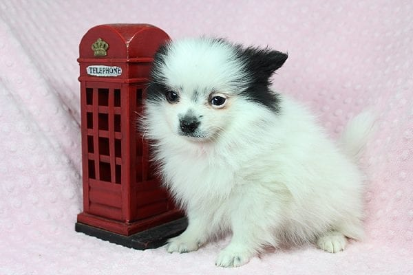 Princess Jasmine - Teacup pomeranian Puppy has found a good loving home with Donna from Las Vegas, NV 89109. -25498